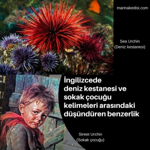 sea urchin street urchin